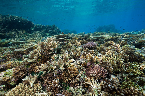 Healthy hard coral reef, Acropora, Kimbe Bay, New Britain, Papua New Guinea