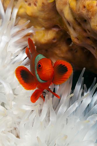 Spiny clownfish, Premnas aculeatus, Kimbe Bay, New Britain, Papua New Guinea
