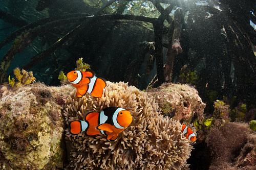 Clown clownfish in mangroves, Amphiprion percula, New Ireland, Papua New Guinea