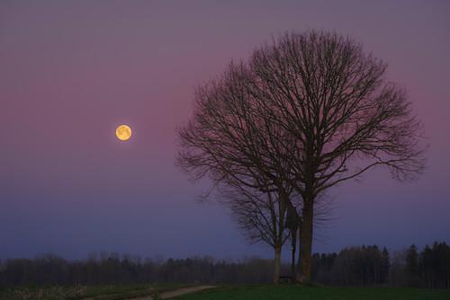 Der Super Mond in der Morgenstimmung mit Wegkreuz und alleinstehenden Baum auf einem Feld, Oberbayern, Bayern, Deutschland, Europa
