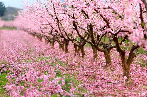Frankreich, Drome, Loriol-sur- Drome, Pfirsichbäume