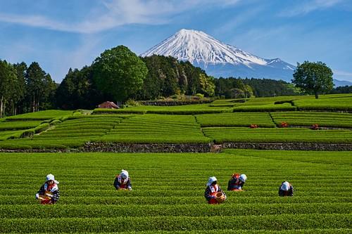 Japan, Honshu, Shizuoka, Teeernte am Fuße des Fuji