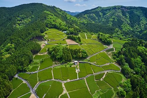 Japan, Honshu, Shizuoka, Teefelder