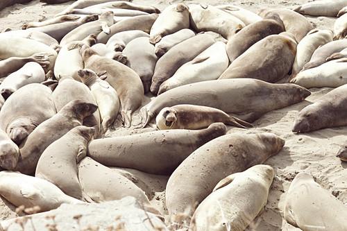 Seelöwen am Highway 1, Kalifornien, USA.