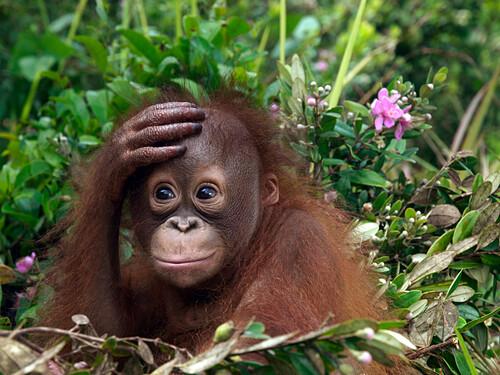 Orangutan (Pongo pygmaeus) young with hand on forehead, Borneo, Malaysia