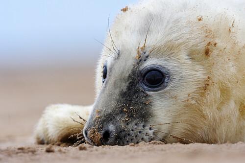 Grey Seal (Halichoerus grypus) pup, Donna Nook, Lincolnshire, United Kingdom
