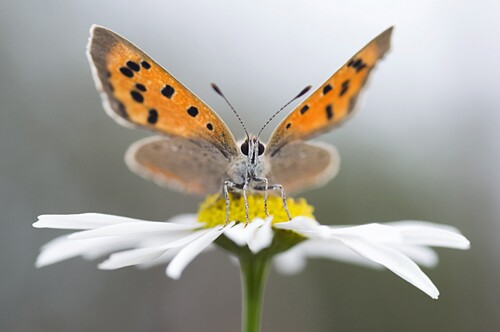 Small Copper (Lycaena phlaeas) butterfly on Daisy, Netherlands