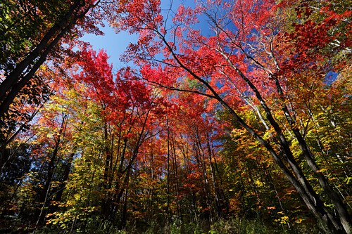 Autumnal forest during the indian summer season at Saint Adele, Province Quebec, Canada