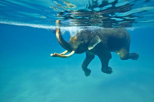 schwimmender Elefant