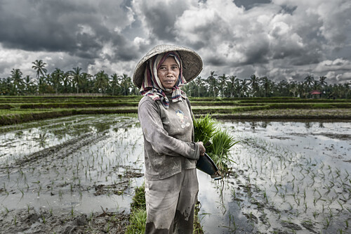 Woman planting rice in the fields of Bali, Indonesia, Asia.