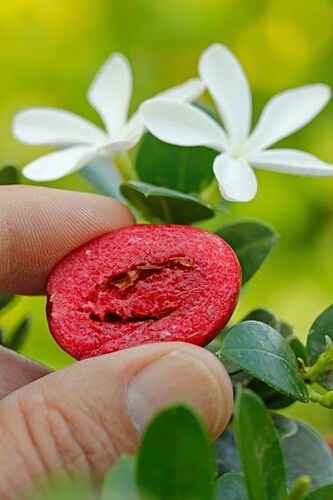 Natal plums. Carissa macrocarpa.