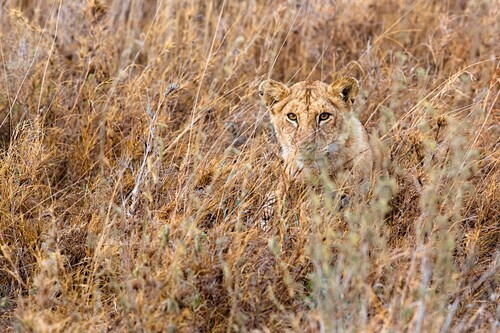 A lion cub hides in the grasslands of southern Serengeti national park, tanzania