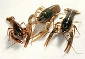 Fresh living Freshwater Crayfish