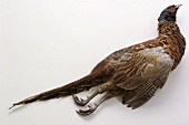 Pheasant with Feathers