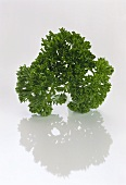 Curl-leaved Parsley