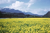 Rape Field in full Bloom