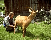 Farmer Milking a Goat