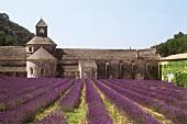 Lavendelblüte beim Kloster Senanque