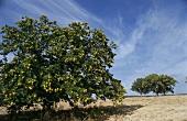 Sweet chestnut trees