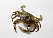 Live Blue crab (soft shell crab)