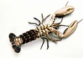 Female Lobster from Below