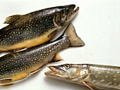 Pike and brook trout
