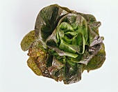 A Head of Burgundy Lettuce
