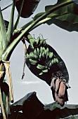 Bananenstaude am Baum