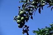 Kafir limes on the tree