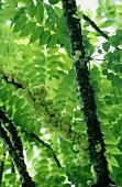 Gooseberries at Tree