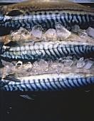 Mackerels on Ice
