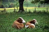 Two cows with brown and white markings
