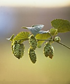 Hops at the Branch