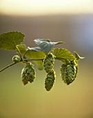 A sprig of hop cones