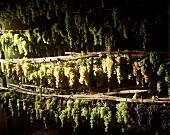 Weintrauben trocknen für den italienischen Meßwein Vin Santo