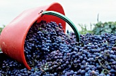 Sangiovese grapes after the harvest in Chianti, Tuscany, Italy