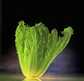 A Romaine lettuce standing on sheet of glass