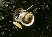 Opened Oyster on Seaweed with Lemon
