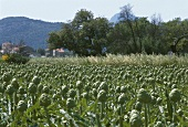 Artichoke Field in the Provence