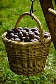 Picking damsons: basket of damsons hanging on ladder