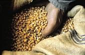 Corn Kernels in a Burlap Bag; Hand