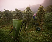 Early morning grape picking at Kaiserstuhl, Baden, Germany
