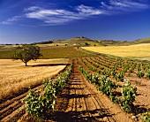Weinanbau bei Pedrosa de Duero in der Provinz Burgos, Spanien