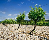 Vines for Vin de Pays d'Oc at Aniane, Herault, Languedoc