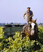 Mr Drouet bei der Weinlese für Muscadet, Clisson, Frankreich