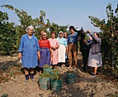 Helpers at the Chardonnay harvest in Blatetz (Bulgaria)