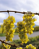 The Riesling - Germany's classic grape - on the vine