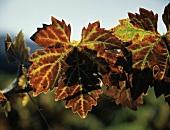 Rötliches Weinblatt eines Cabernet Sauvignon-Rebstocks