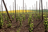 Hop-growing in Franconia