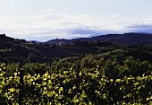 Vineyards in the Collio wine-growing region, Friuli, N.E. Italy